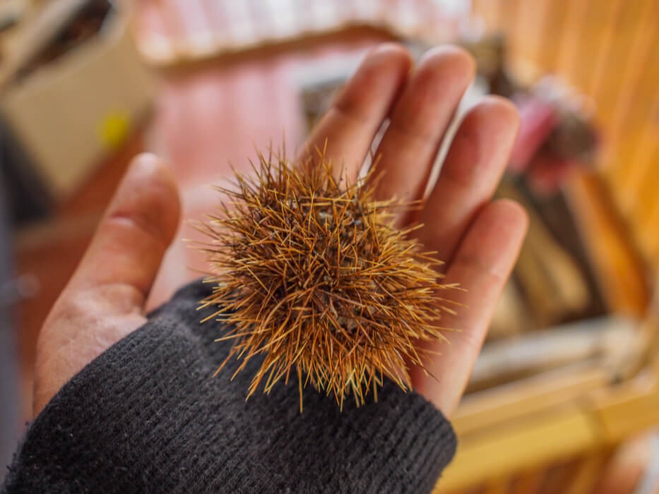 chestnut with spiky outer shell