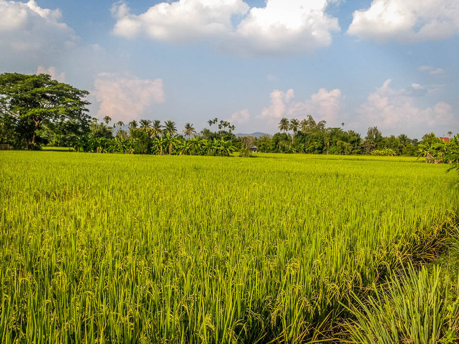 rice fields outside of chiange mai thailand